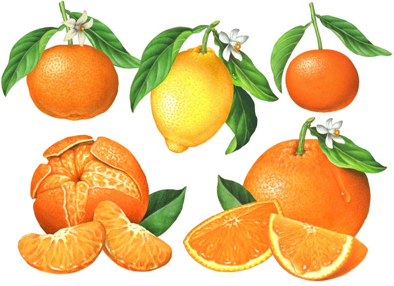 Citrus Fruit Illustrations Clementine Mandarin Lemon And Orange By Douglas Schneider